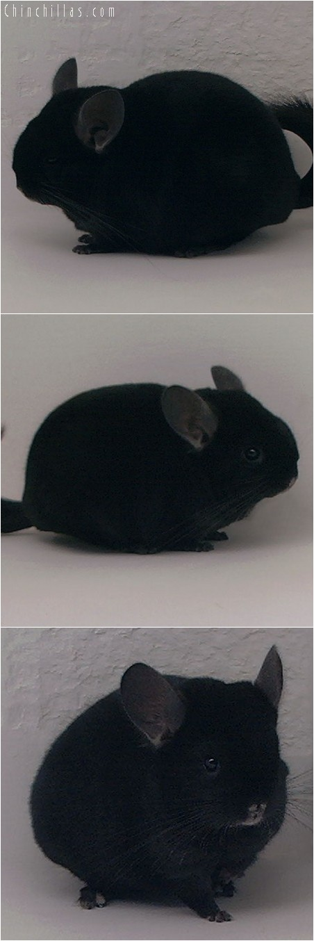4240 Brevi - type Show Quality Ebony Male Chinchilla