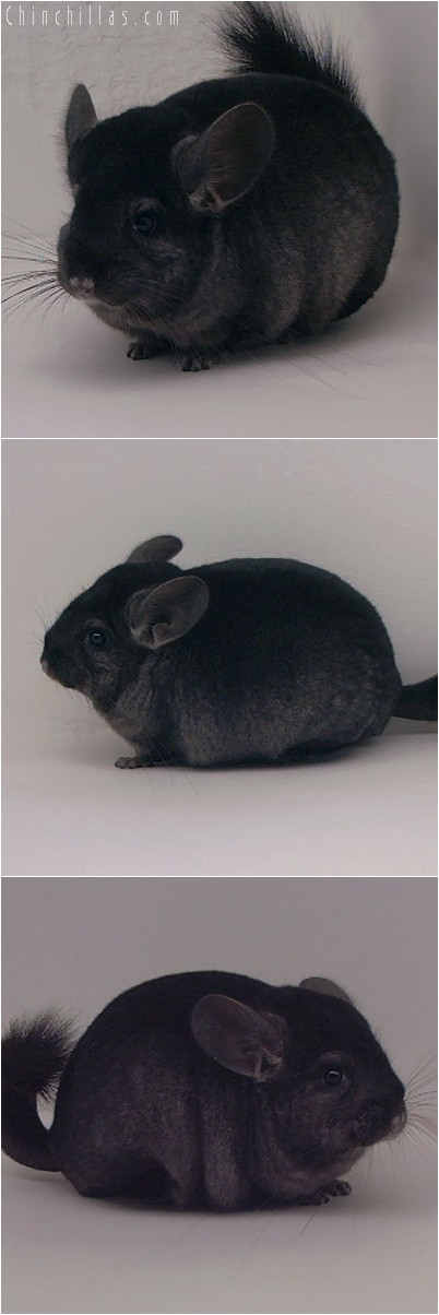 4242 Show Quality Ebony Female Chinchilla