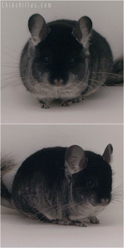 4246 Showable Black Velvet Male Chinchilla