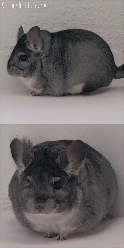 4154 Show Quality Blocky Standard Female Chinchilla
