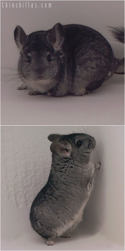 4248 Large Top Show Quality Standard Female Chinchilla
