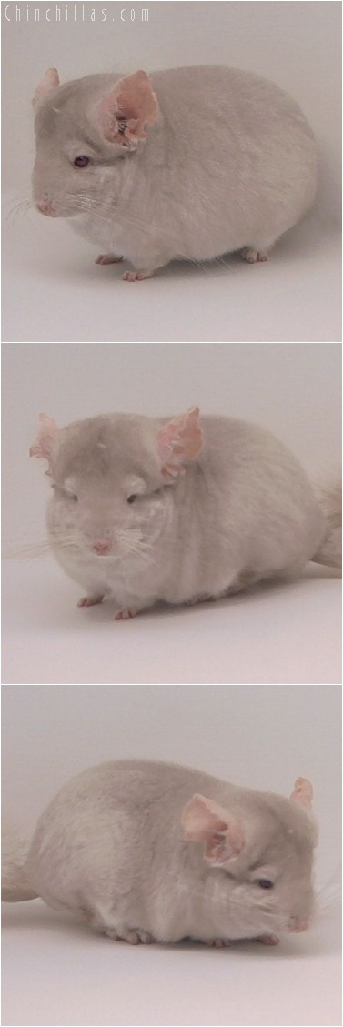 4252 Homozygous Beige Female Chinchilla
