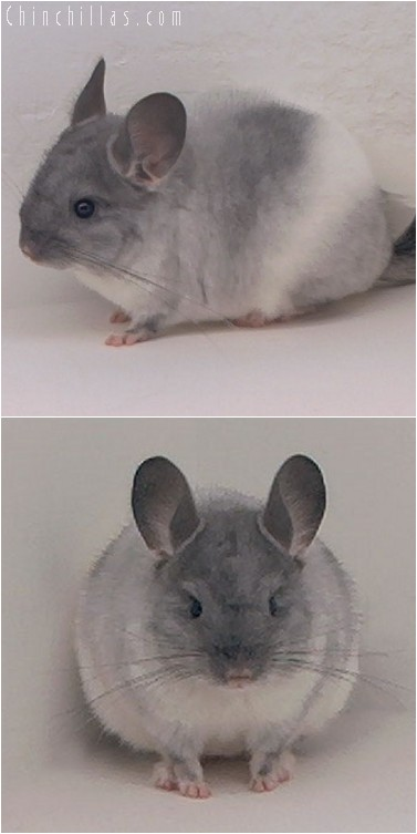 4225 TOV White Male Chinchilla