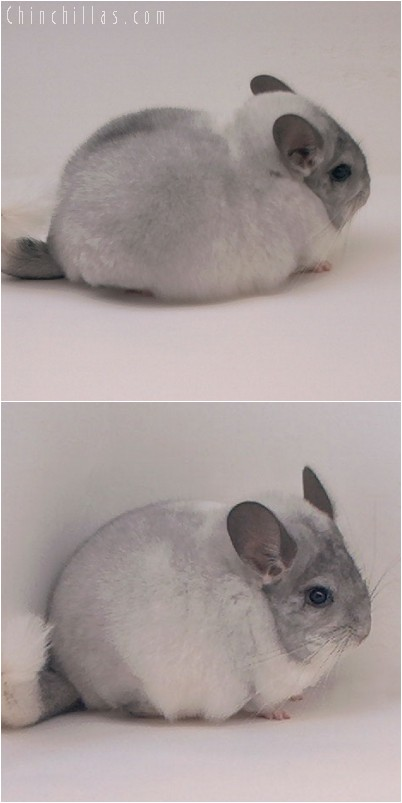 4258 Top Show Quality White Mosaic Male Chinchilla