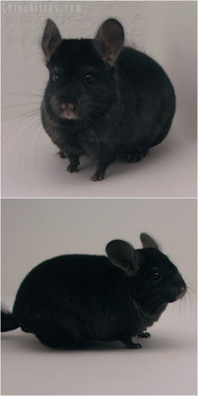 4257 Show Quality Ebony Male Chinchilla