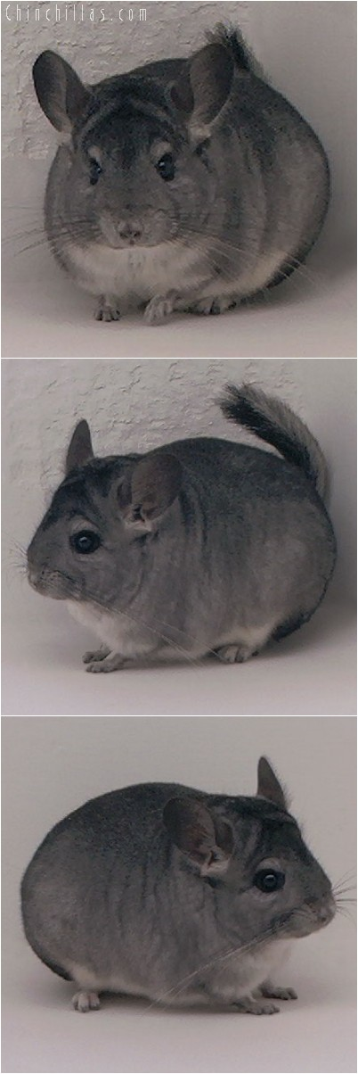 4232 Show Quality Standard ( Sapphire Carrier ) Female Chinchilla