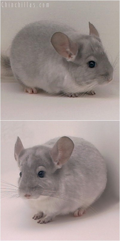 4251 White and Violet Mosaic Male Chinchilla