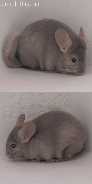 4236 Tan / Pastel Female Chinchilla