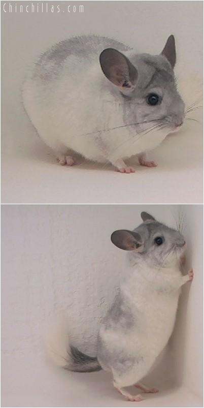 4241 Large Show Quality White Mosaic Male Chinchilla