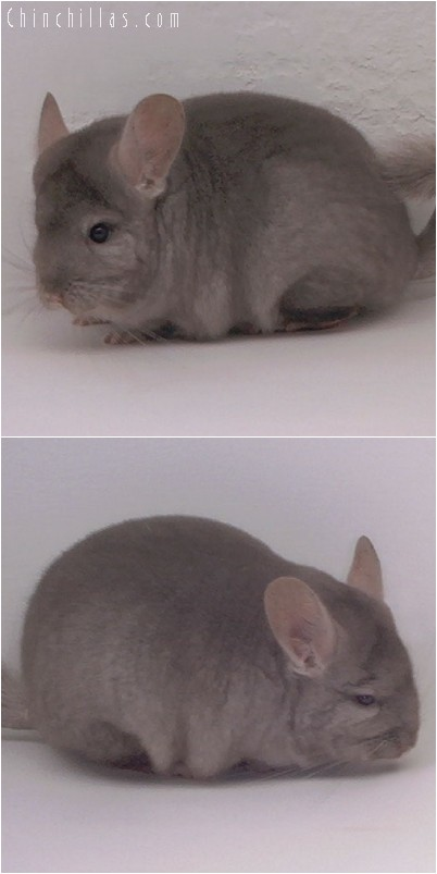 4203 Show Quality Tan Female Chinchilla
