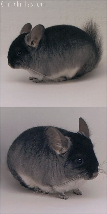4235 Black Velvet ( Sapphire Carrier ) Female Chinchilla