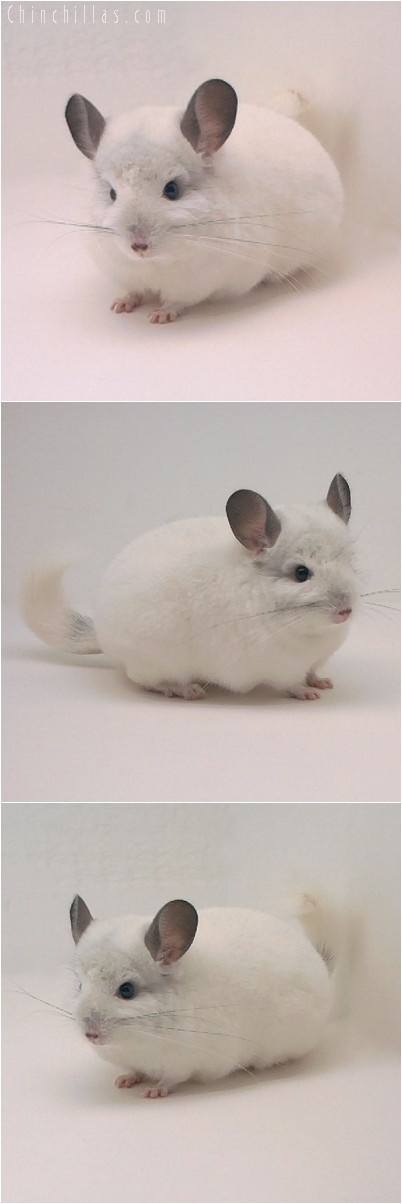 4273 Mini White Male Chinchilla