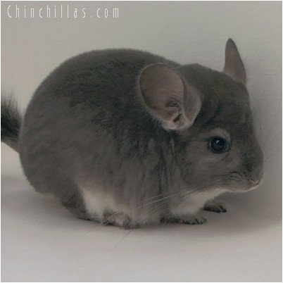 4266 Top Show Quality Violet Male Chinchilla