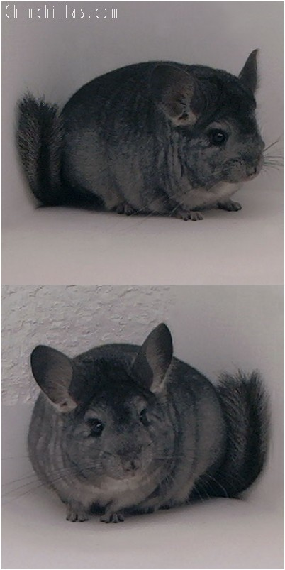 4229 Top Show Quality Standard ( Ebony Carrier ) Female Chinchilla