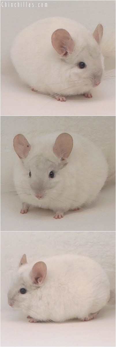 4272 Show Quality Pink White Male Chinchilla