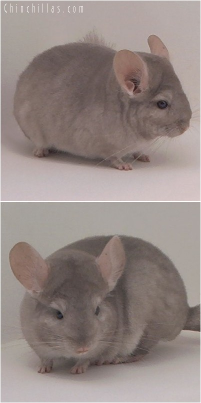 4180 Beige ( Violet Carrier ) Male Chinchilla