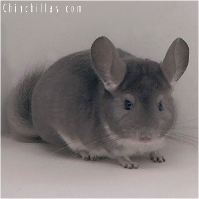 4192 Show Quality Violet Female Chinchilla