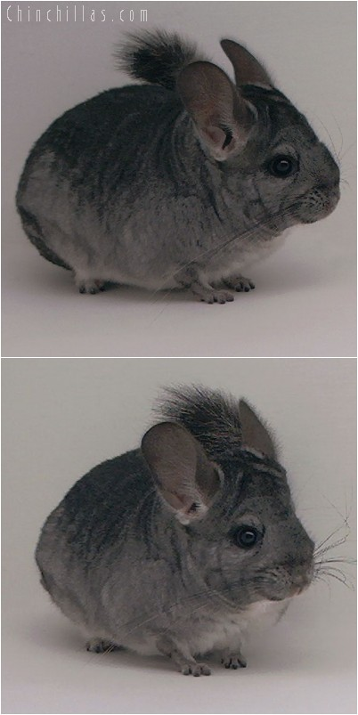 4261 Standard ( Violet Carrier ) Female Chinchilla