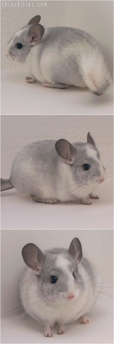 4292 Top Show Quality White Mosaic ( Sapphire Carrier ) Male Chinchilla
