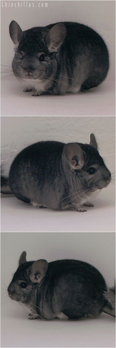 4286 Show Quality Standard Male Chinchilla