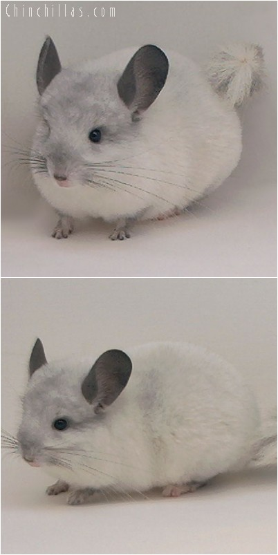 4284 Show Quality White Mosaic Male Chinchilla