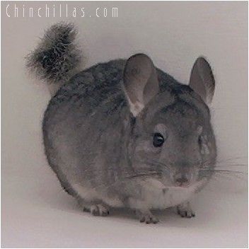 4288 Standard ( Sapphire Carrier ) Female Chinchilla