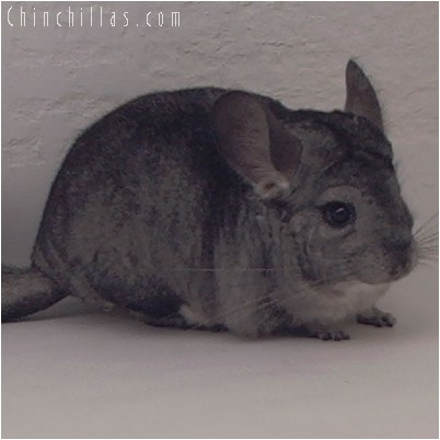 4290 Standard ( Violet Carrier ) Female Chinchilla