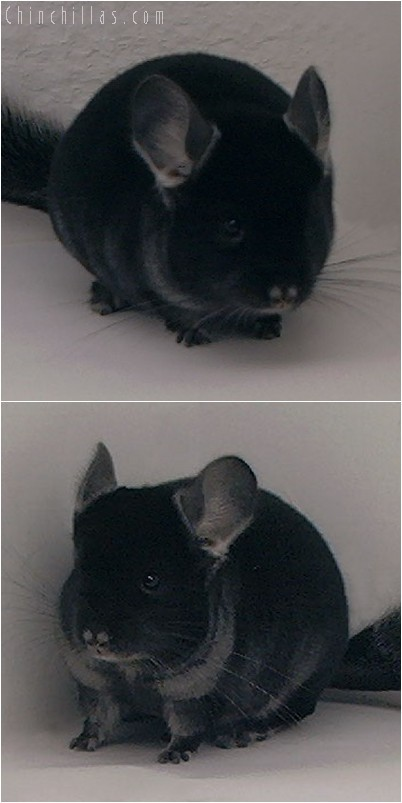 4265 Top Show Quality TOV Ebony Male Chinchilla