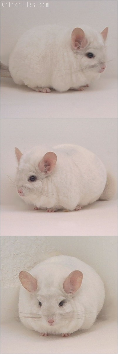 4299 Large Premium Quality Pink White Female Chinchilla