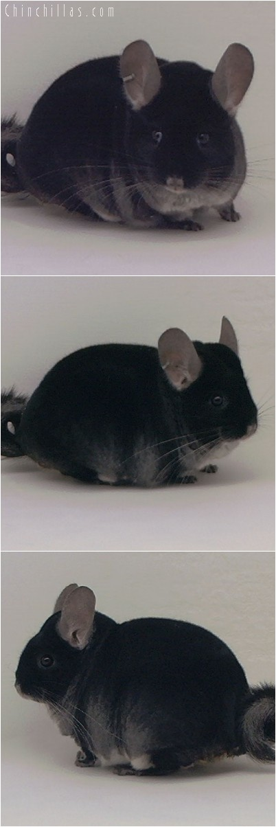 4294 Extra Large ECBC Class Champion Black Velvet Male Chinchilla