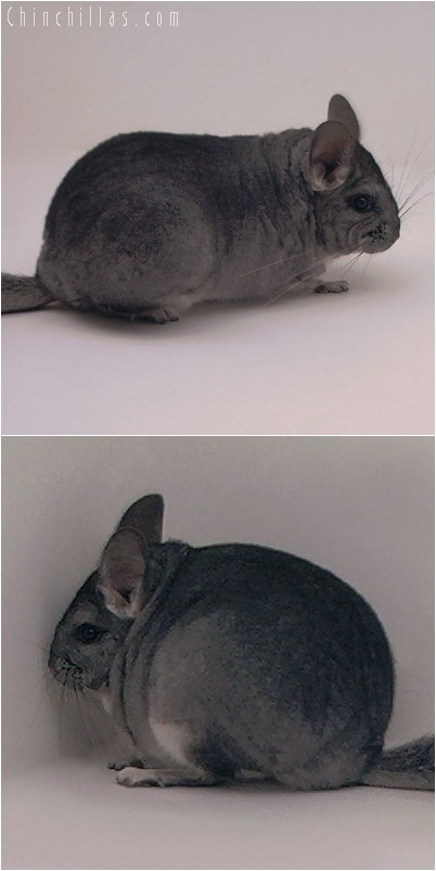 4289 Show Quality Standard ( Violet Carrier ) Female Chinchilla