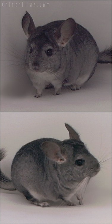 4287 Standard ( Ebony & Violet Carrier ) Female Chinchilla