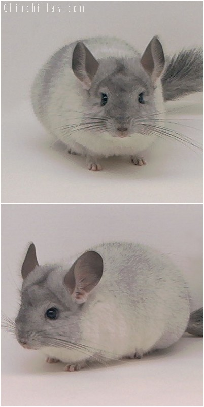 4285 Show Quality White Mosaic ( Sapphire Carrier ) Female Chinchilla