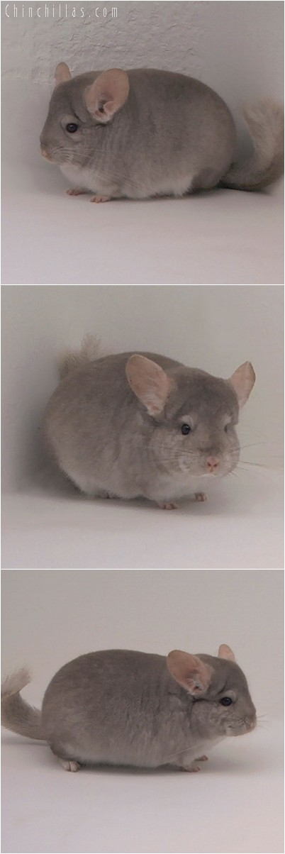 4271 Show Quality Beige Female Chinchilla
