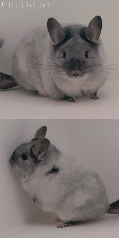 4296 Large Show Quality TOV White Female Chinchilla