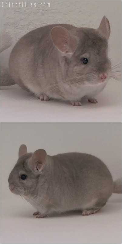 4297 Top Show Quality Beige Female Chinchilla