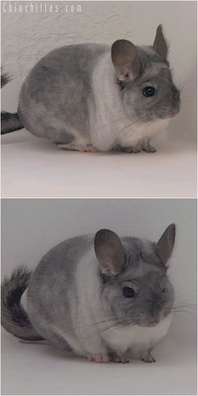 4310 Unique TOV White Mosaic Female Chinchilla