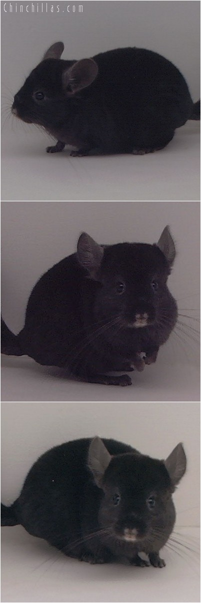4305 Show Quality Ebony ( Violet Carrier ) Female Chinchilla