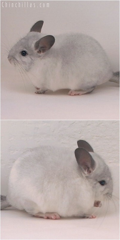 4313 Silver Mosaic ( Sapphire Carrier ) Male Chinchilla