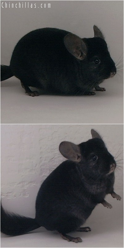 4319 Show Quality Ebony Female Chinchilla