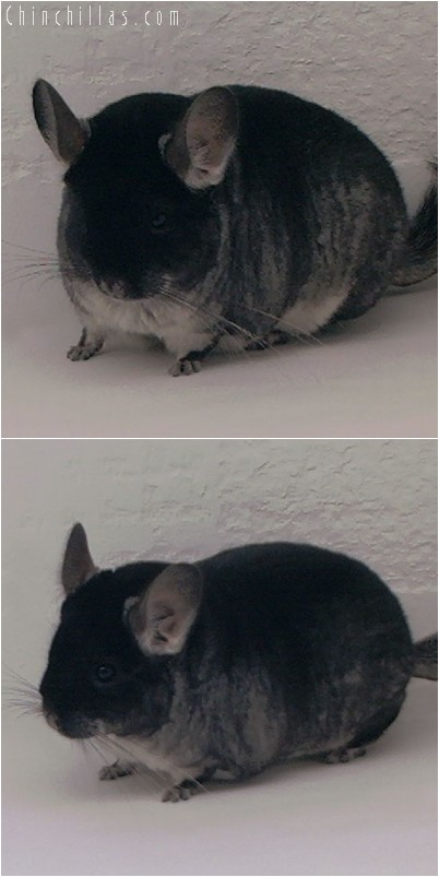 4277 Large Showable Black Velvet Female Chinchilla