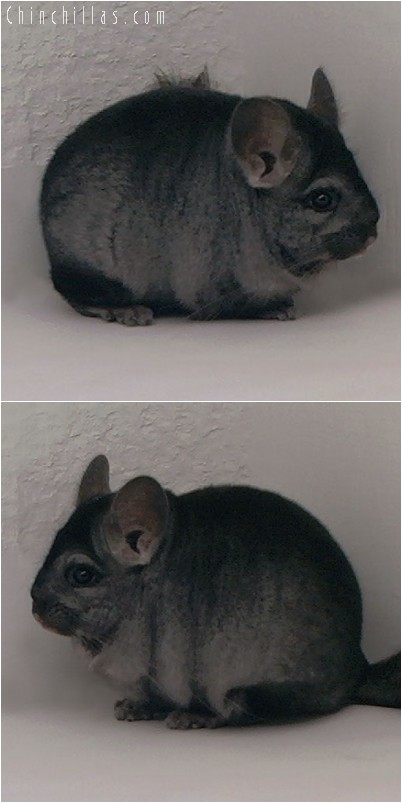 4259 Show Quality Ebony Female Chinchilla
