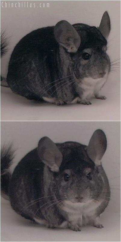 4267 Extra Large Show Quality Standard Male Chinchilla