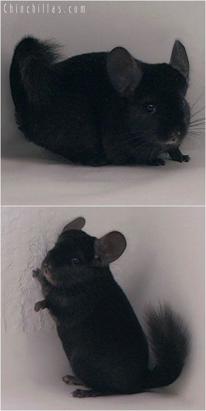 4304 Top Show Quality Ebony Female Chinchilla
