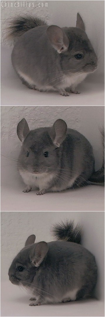4306 Violet Female Chinchilla