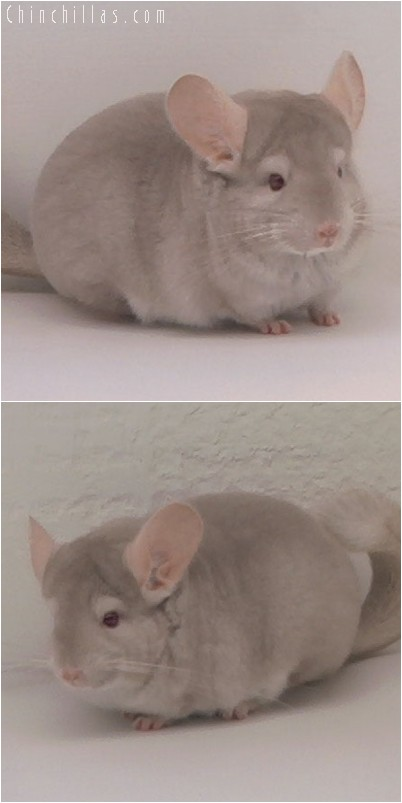 4328 Top Show Quality Homozygous Beige Female Chinchilla