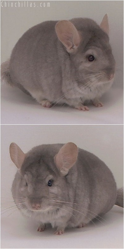 4325 Top Show Quality Beige Female Chinchilla