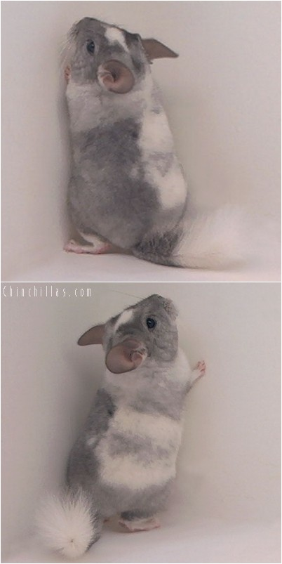 4333 Splotchy Tri-tone White Mosaic Female Chinchilla