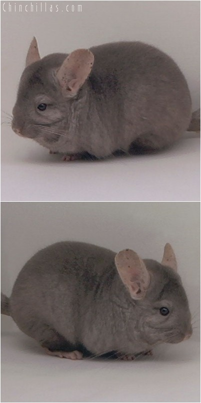 4335 Show Quality Tan Female Chinchilla