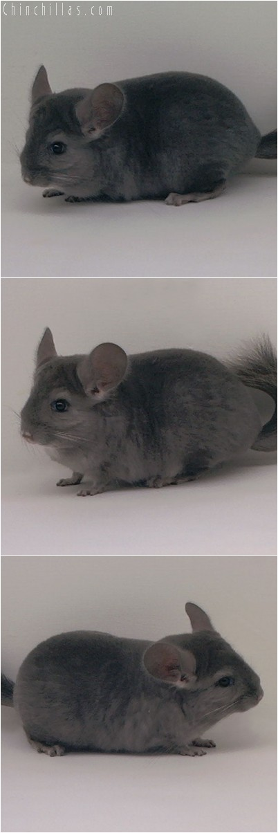 4338 Show Quality Wrap - around Violet Female Chinchilla
